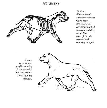 Alfa Tauri Hodowla Psw Staffordshire Bull Terrier